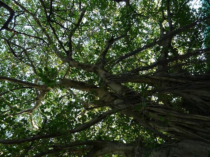 Im Im Sultanpark steht der älteste (angeblich 600 Jahre) und größte Baum von Male